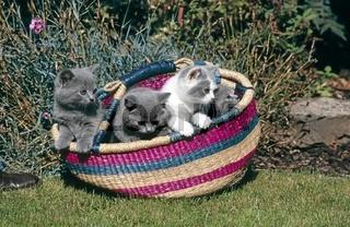 Britische Kurzhaarkatze, British Shorthair Cat