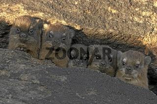Klippschlieferm hyrax, rock dassie, Procavia capensis, afrika, africa