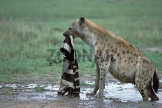 Hyaena, Spotted Hyaena,