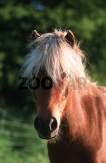 German Classic Pony