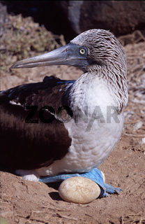 Blaufusstölpel sitzt auf Ei