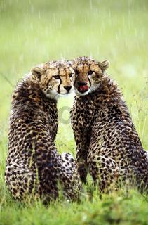 Gepard, Cheetah, Acinonyx jubatus, Masai Mara Nationalpark, Kenia, Afrika