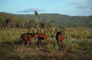 Australian Brumbi, Australische Brumbipferde, Queensland, Australia, Australien