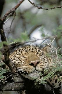 Leopard, female, Panthera pardus, Masai Mara, Kenya