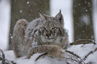 Luchs bei Schneefall Lynx at snowfall