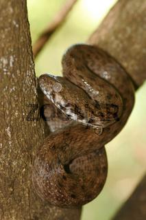 Madagascarophis colubrinus occidentalis