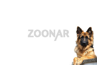 Altdeutscher Huetehund, Canis lupus familiaris, domestic dog