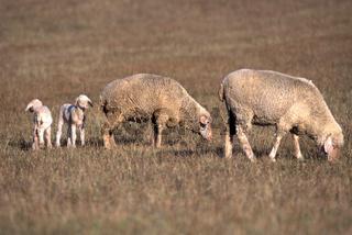 Domestic Sheep / Hausschaf