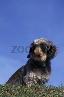 Wire-haired Dachshund / Rauhaardackel
