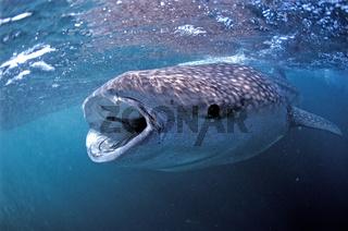 Walhai, Rhincodon thypus, Whale shark, Afar Dreieck, Afrika, Afrikca