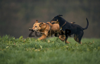 Mischlingshund / Mixed-Breed-Dog