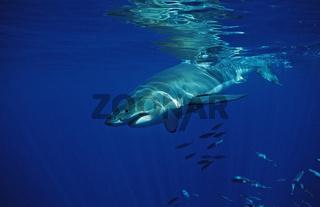 weisser Hai, Charcharodon carcharias, Great white shark, Pazifischer Ozean, Mexiko