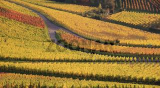 Panorama - Weinberg im Herbst