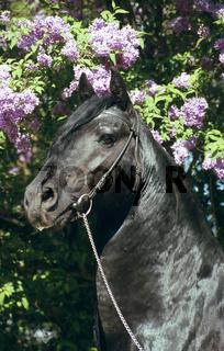 Friesian Stallion (male horse) / Friesenhengst