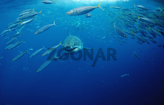 Weisser Hai, Carcharodon charcharias, Great White shark, Suedafrika, Dyer Island