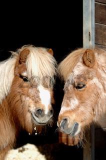 Zwei suesse Shetland Ponsy