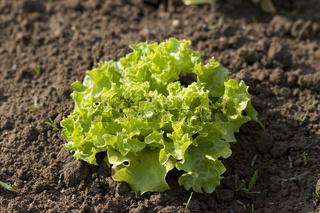 Salatsetzling | Lettuce seedling