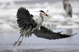 Graureiher, Ardea cinerea, Grey Heron, Fischreiher, Reiher