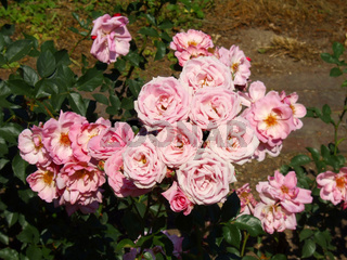 Edelrose Märchenland (Rosa)