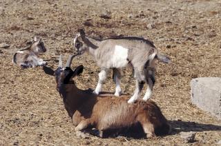 Domestic Goat / Hausziege
