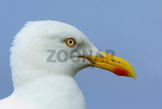 Herring Gull, Silbermoewe, Larus argentatus