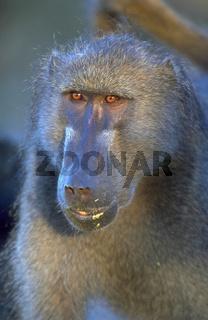 Tschakma-Pavian