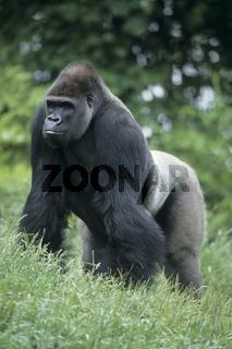 Flachlandgorilla, Gorilla gorilla, Westerngorilla, Westgorilla, Menschenaffe, Flachland-Gorilla