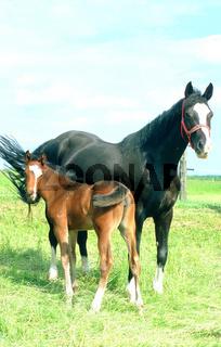 Holsteiner Warmblut