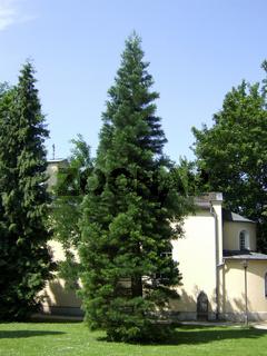 Mammutbaum (Sequoiadendron giganteum), Solitär