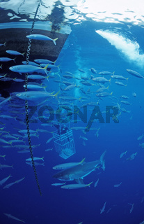 Weisser Hai, charcharodon charcharias, Great white shark, Haikaefig, Mexiko