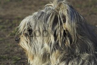 Schafpudel, German Sheeppoodle