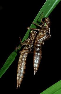 Hüllen ausgeschlüpfter Libellenlarven