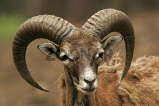 Mufflon Wildschaf / Wild Sheep / Ovis musimon