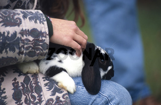 Dutch Rabbit / Hollaenderkaninchen