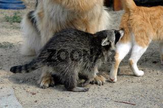 Schäferhündin zieht junge Waschbären auf