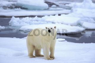 Polar bear, Eisbär, Ursus maritimus,