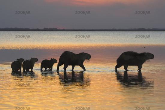 Wasserschwein, Hydrochoeridae spec., Capybara, Family, Llanos de Orinoco, Venezuela, Suedamerika