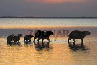 Wasserschwein, Hydrochoeridae spec., Capybara, Familie, family, Llanos de Orinoco, Venezuela, Suedamerika
