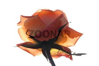 Transparente Rose