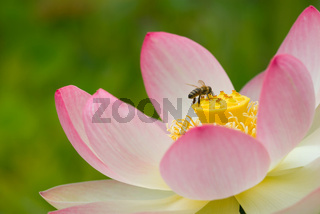 Lotusbluete im Teich mit Biene -