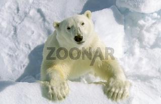 Eisbbaer, Polarbaer, Spitzbergen,  Ursus maritimus, Polarbaer