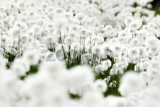 Close up, detail, cottongrass, cottonsedge, wollgras, eriophorum, lapland, lappland, schweden, sweden, swedish lapland, europe, europa