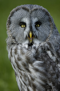 Bartkauz, Great Grey Owl, Lapland Owl, Strix nebulosa