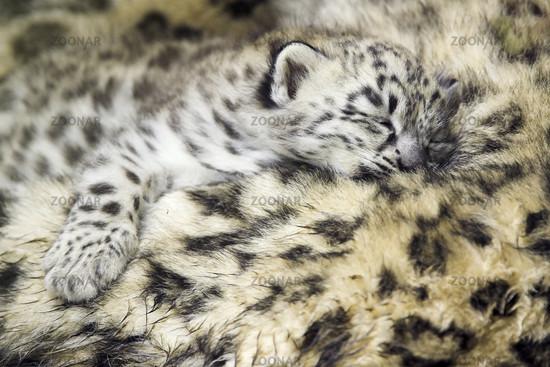 Schneeleopard, Irbis, Jungtier schlafend, cub, sleeping, Unica unica, Panthera unica, Snow Leopard