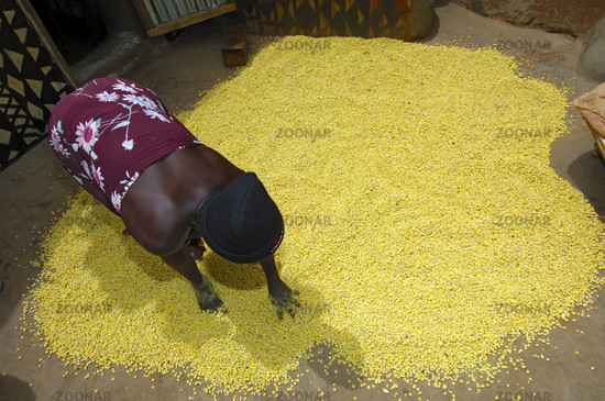 Drying of Nere seeds, West Africa