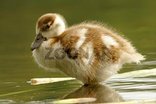 nilgans, alopochen aegyptiacus, egyptian goose, nil goose