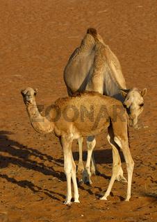 Kamelstute mit Fohlen in der Wüste
