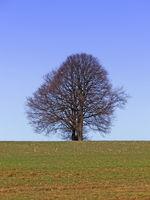 Kahler Baum auf der WieseBaum