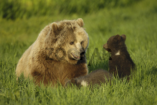 Braunbaer mit Jungen, Brown Bear with cubs