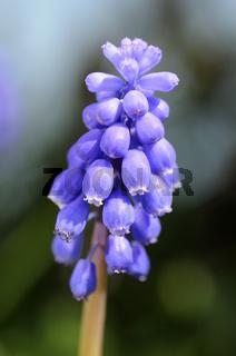 Blüte der Traubenhyazinthe